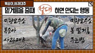 봄 밑거름 주는법 (미량요수소추비,복숭아,복조,사과대추…