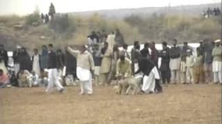 2nd Rawat Race Dog Vs Rabbit (Part 2)