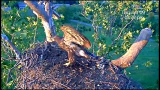 This footage captures the return of one of juvenile eagletts ... fo...