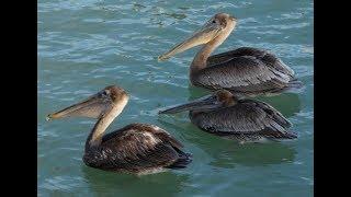 Pelican Photo Shooting John's Pass Village and Boardwalk Madeira Beach Florida