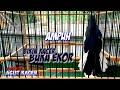 Ampuh Bikin Kacer Lain Narung Buka Ekor  Mp3 - Mp4 Download