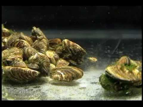 River Invaders - The Scourge of Zebra Mussels