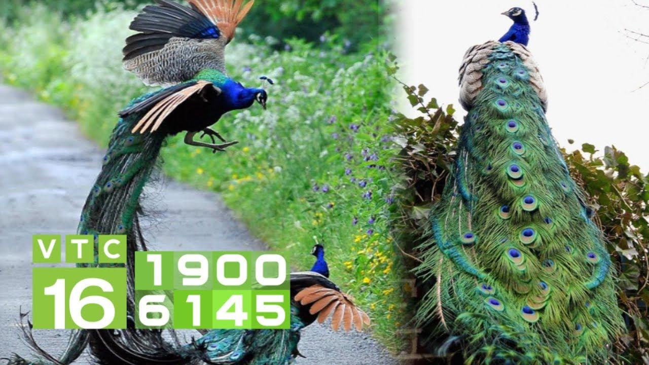 Thuần hóa chim công: Bán 80 triệu/con, gần 2 cây vàng | VTC16