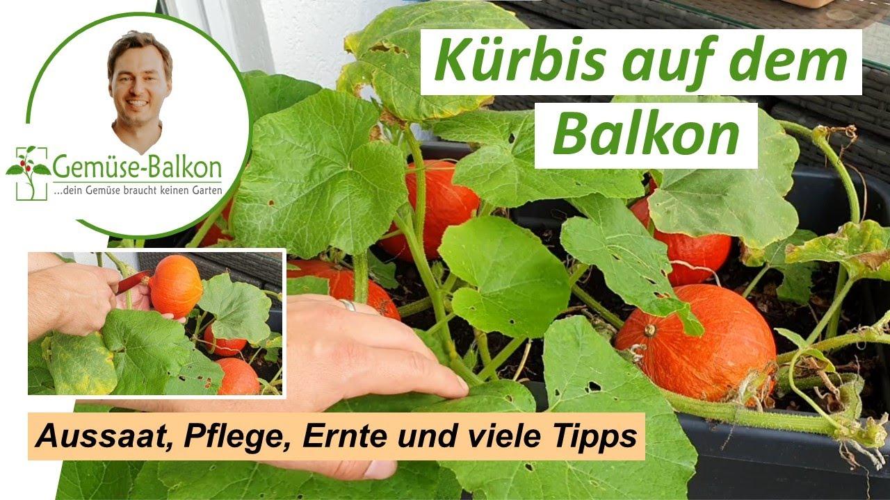 Kürbis auf dem Balkon anbauen   Gemüse Balkon