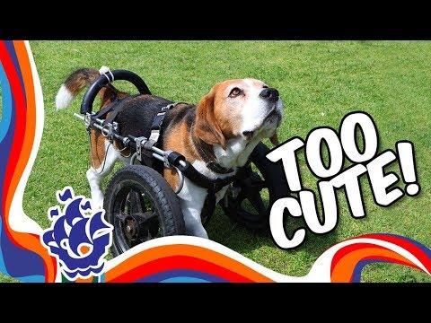 Beagle/Basset hound talent show | Blue Peter