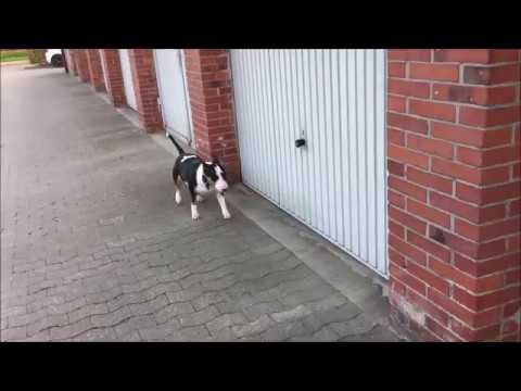 Miniatur Bullterrier Bulli bewacht die Garagen