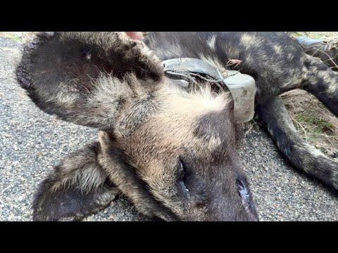 Snared Wild Dog Rescue Mission  - Latest Wildlife Sightings