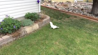 i don t like this grass mom he steps on a wet spot lol   please read description