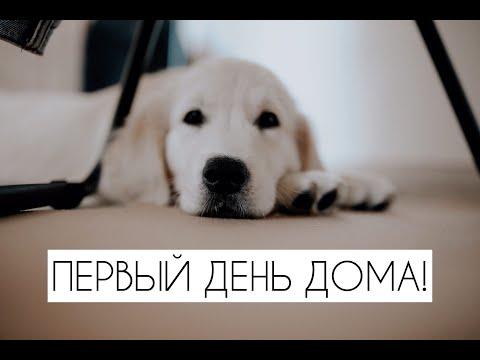 Золотистый ретривер | Первый день щенка дома | Основные правила