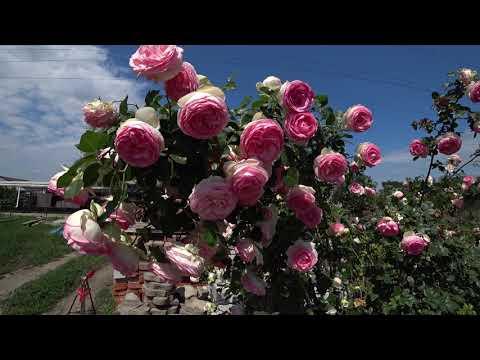 Роза Pierre de Ronsard (Пьер де Ронсар)
