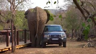 Wild Animal ATTACKING Car   Elephant, Lion, Goat   attack car Compilation