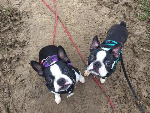 Dottie and Maddi - Boston Terriers - 2 Weeks Residential Dog Training