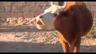 Die Ka'aka-Bubu-Kuh