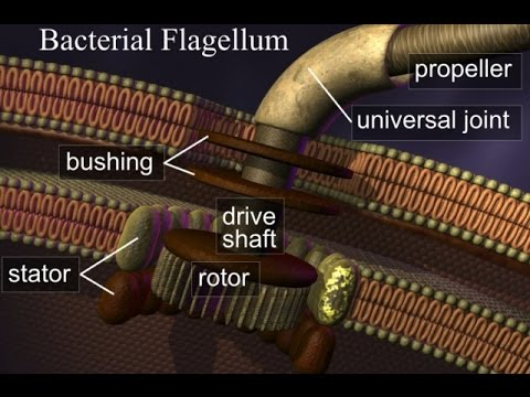 Behe & Meyer Destroy Challenge to Flagellum Motor