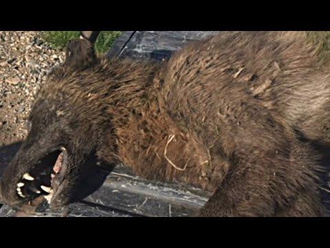 Strange wolf found in Montana.
