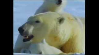 Polar Bears & Their World Of Ice