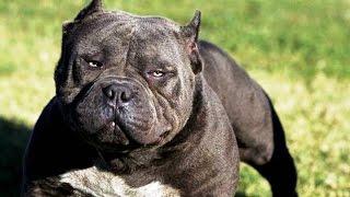 Самые опасные собаки в мире!