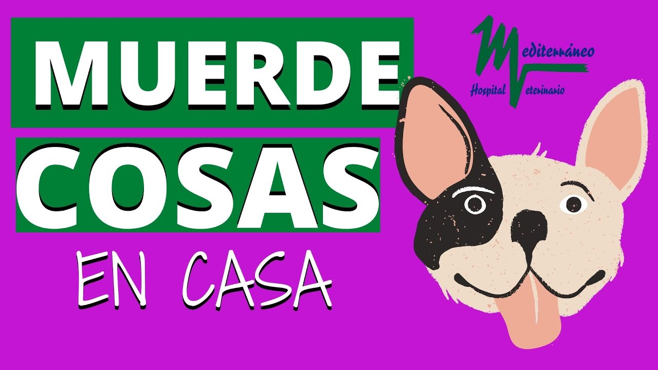 Mi Perro Muerde Cosas Objetos En Casa Qué Hago Youtube