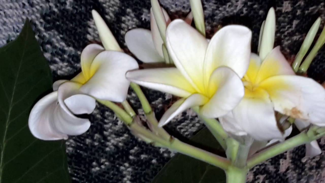 Plumeria white flower with yellow center luna blooming day 4 youtube plumeria white flower with yellow center luna blooming day 4 mightylinksfo