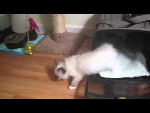 Ragdoll Kitten's First Day Home!