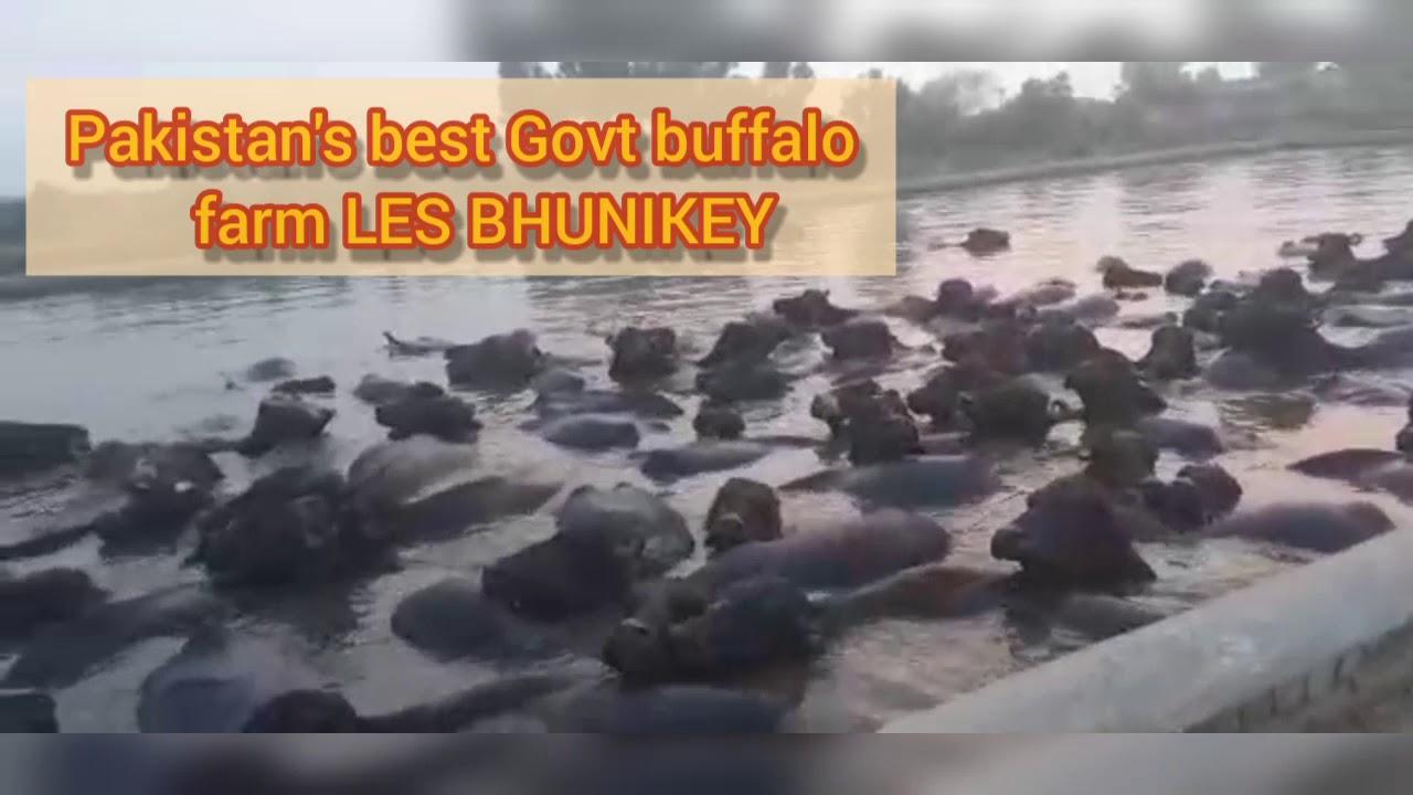 Pakistan's best Govt buffalo farm LES BHUNIKEY