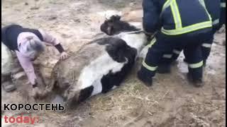 Поблизу Коростеня рятувальники витягнули з ями корову, яка просиділа там більше доби
