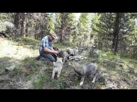 12 Week Old Elkhound Pups Mountain Hiking Training