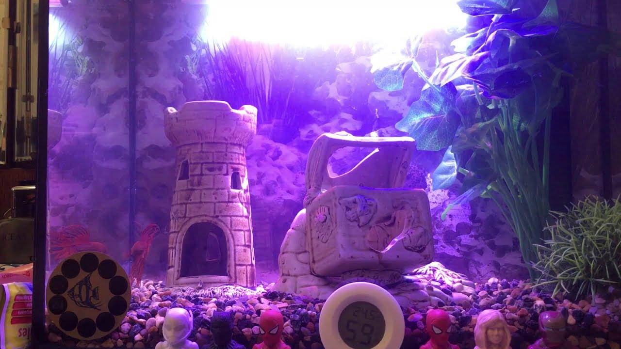 Рыбка петушок плавает в аквариуме и застенчиво прячется от ...