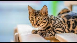БЕНГАЛ - домашний леопард. Хочу необычную кошку! ЕТВ