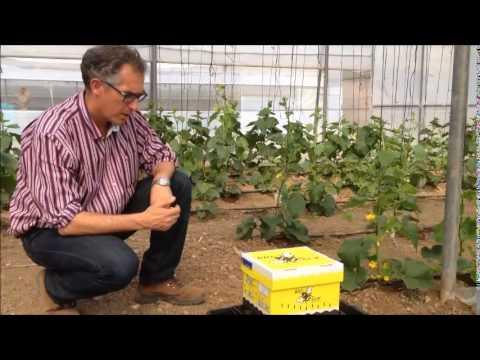 Instalaci�n de colmena de abejorros para la polinizaci�n de Pepino y Mel�n