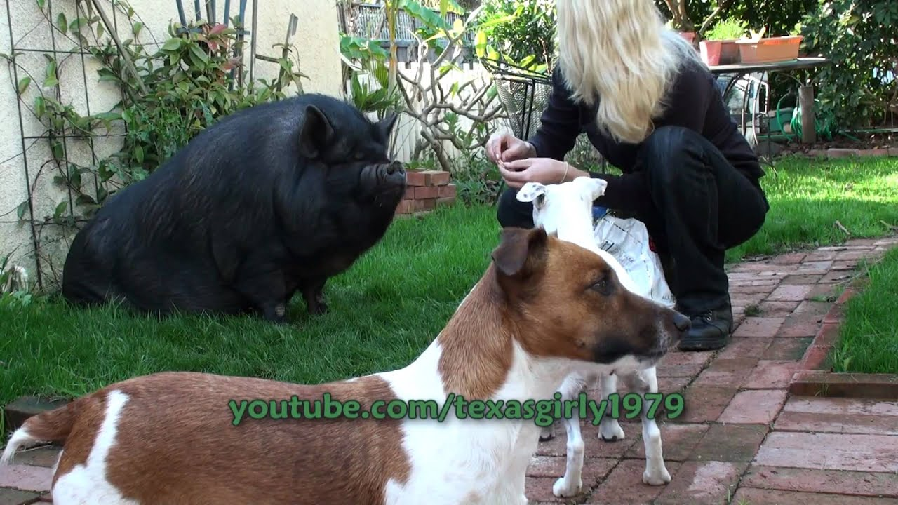 Pot-Bellied Pig VS. Jack Russell Terriers - YouTube