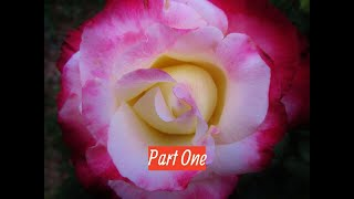 How to Prune a Hybrid Tea Rose   Part One of Three by The Gardening Tutor