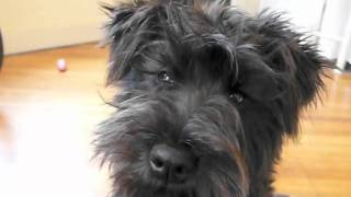 Black Mini Schnauzer Puppy