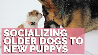 How To Socialize An Older Dog With A New Puppy