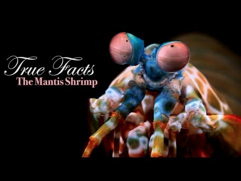 True Facts About The Mantis Shrimp
