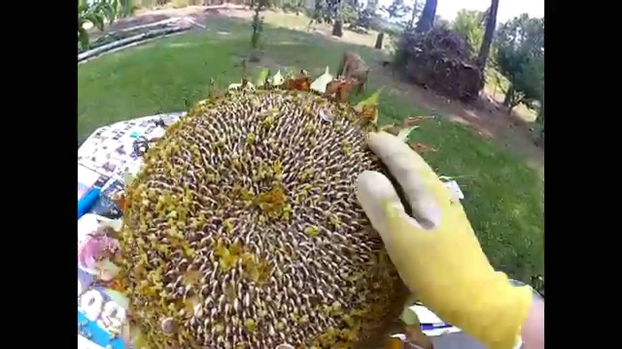 How To Harvest Sunflower Seeds You