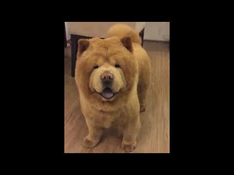 Amazing Compilation Of Chow Chow Doggies And Puppies 😍
