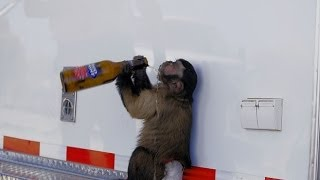 Monkeys Drinking Alcohol Experience Immune System Boost