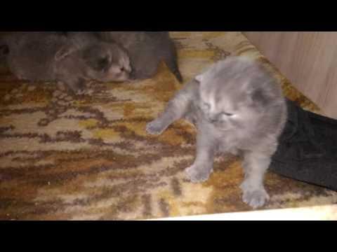 Ксюша с котятами таскает кошка и котята