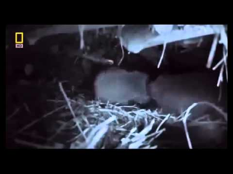 Nature's Engineers The Dam Beaver National Geographic Nature Documentary HD 2013 1