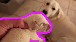 labrador-puppies-turn-1-week-old