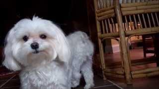Cute Maltese Dogs :)