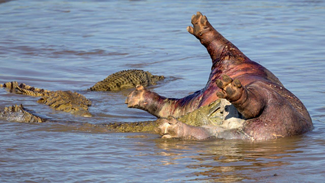 Download TOP HIPPO VS CROCODILE MOMENTS