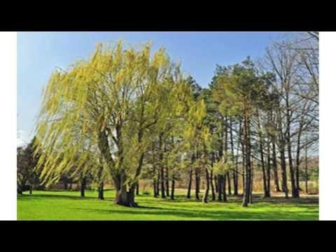 VODITE RAČUNA KOJE DRVO SADITE U BLIZINI KUĆE! 10 svetih biljaka starih Srba