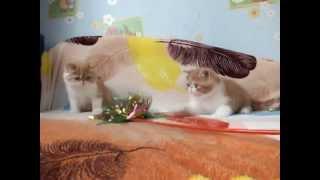 Котята экзоты в питомнике купить