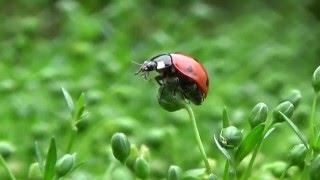 видео Мшанка шиловидная: посадка, уход и выращивание из семян, фото газона