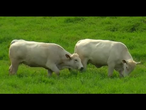How to Breed Romagnola Cattle - TvAgro by Juan Gonzalo Angel