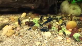 Royal Blue Tiger shrimps feasting