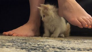 Maine Coon Kitten's First Day Home