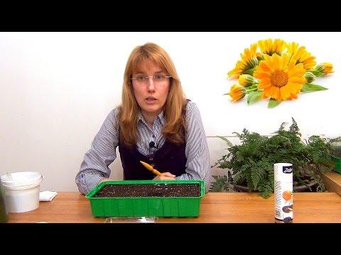 Вопрос: Можно ли выращивать календулу в комнате?